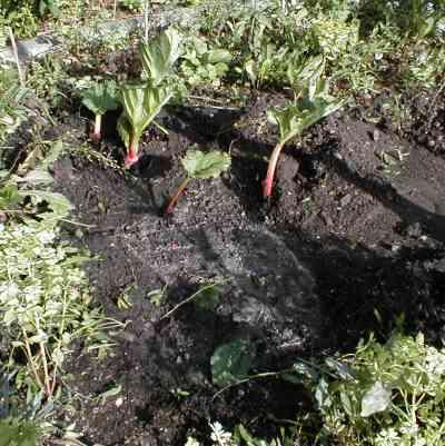 Rhabarber - frisch gepflanzt und gewässert