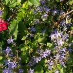 Bodendecker-Glockenblume